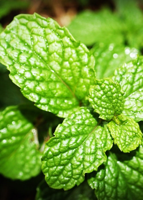 Peppermint Essential Oil - A Great IBS Natural Treatment